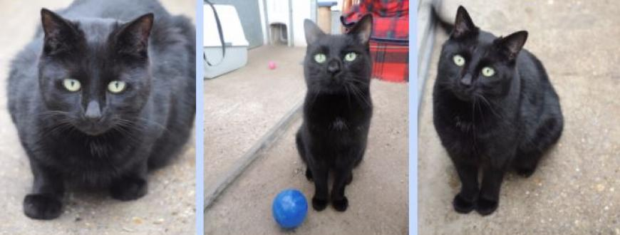 Beautiful Black Cat Jonty Overlooked For More Than A Year National Animal Welfare Trust