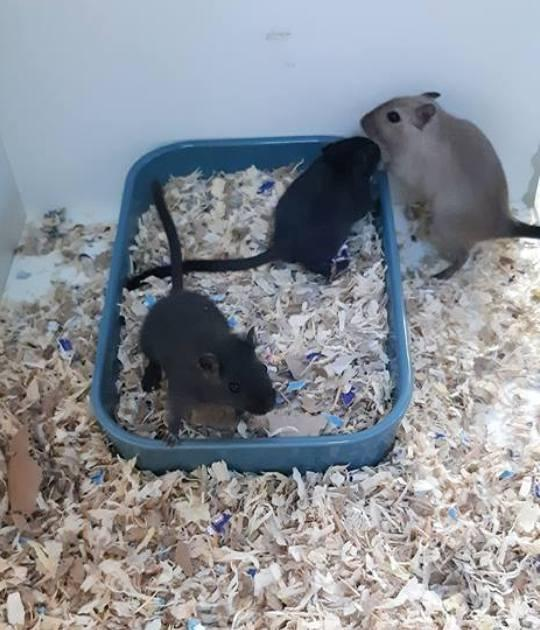 Female Gerbils 2