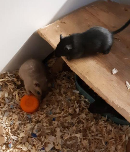 Female Gerbils 3