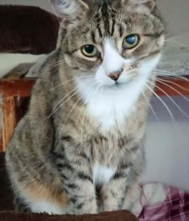 Tito - Tabby with white male