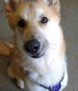 Odin looking for his forever home