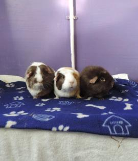 Cocoa, Felpa and Tigra