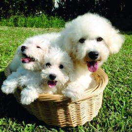 Bichon Frise and puppies