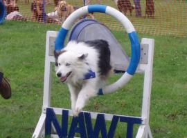 Tico jumping through a tyre at NAWT event